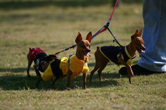 Chihuahua. Three Chihuahua dogs playing in the grassplot Royalty Free Stock Photo