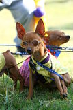 Chihuahua. Three Chihuahua dogs playing in the grassplot Royalty Free Stock Photos