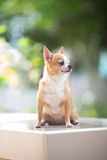 chihuahua Lizenzfreies Stockfoto