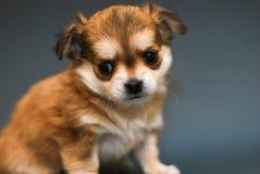 Chihuahua Stock Foto