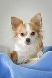 Chihuahua. Small chihuahua with ears perked, looking at the camera Stock Photography