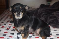 Chihuahua Imágenes de archivo libres de regalías