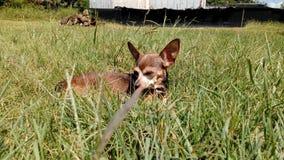Chihuahua Στοκ Εικόνες