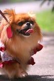 Chihuahua Royalty-vrije Stock Foto