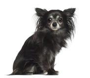 Chihuahua 8 gammala som år sitter Royaltyfri Foto