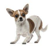 Chihuahua 8 gammala som månader ser kameran Arkivbild