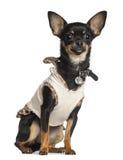 Chihuahua 8 gammala som månader sitter Fotografering för Bildbyråer