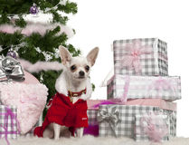 Chihuahua, 8 maanden oud, die de uitrusting van de Kerstman draagt Royalty-vrije Stock Afbeeldingen