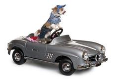 Chihuahua, 8 meses velha, conduzindo o convertible imagem de stock royalty free