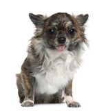 Chihuahua, 8 months old, sitting Royalty Free Stock Image