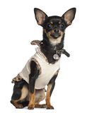 Chihuahua, 8 months old, sitting Stock Image