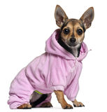 Chihuahua, 8 months old, wearing pink hoodie Royalty Free Stock Photo