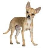 Chihuahua (9 maanden) royalty-vrije stock fotografie