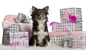 Chihuahua, 9 maanden oud, die met Kerstmis zit Royalty-vrije Stock Fotografie