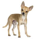 Chihuahua (9 months). In front of a white background Royalty Free Stock Photography