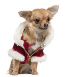 Chihuahua, 9 months old, in Santa coat, sitting Royalty Free Stock Images