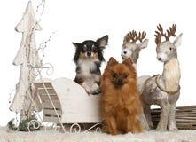 Chihuahua, 3 años, y perro de Pomerania alemán, 2 años fotografía de archivo libre de regalías