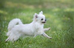Chihuahua in aard royalty-vrije stock afbeeldingen