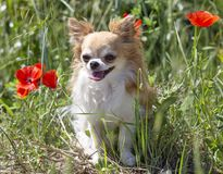Chihuahua in aard royalty-vrije stock fotografie