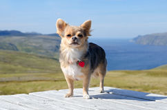 Chihuahua against Norwegian landscape Royalty Free Stock Photography