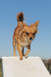 Chihuahua in agility Royalty Free Stock Images