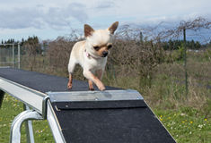 Chihuahua and agility Royalty Free Stock Photography