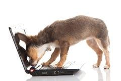 Chihuahua aislada en el perro blanco del fondo Fotografía de archivo libre de regalías