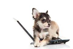 Chihuahua aislada en el perro blanco del fondo con el ordenador portátil del ordenador Foto de archivo