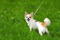 Chihuahua alegre que invita en día de verano Imagenes de archivo
