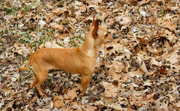 Chihuahua on Alert Stock Photography