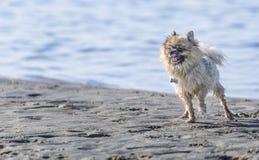 Chihuahua alla spiaggia Fotografie Stock