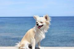 Chihuahua alla spiaggia Immagine Stock