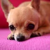 Chihuahua - Amy Lizenzfreies Stockfoto