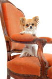 Chihuahua on an antique armchair Stock Photography