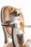 Chihuahua on antique chair Royalty Free Stock Photo
