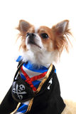 Chihuahua as pirate Stock Image