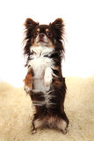 Chihuahua as rabitt Royalty Free Stock Image