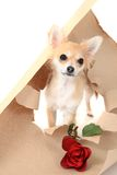 Chihuahua as valentine present with rose Royalty Free Stock Photo