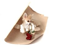 Chihuahua as valentine present with rose Royalty Free Stock Photography