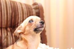 Chihuahua asustada Imagenes de archivo