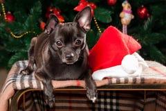 Chihuahua auf dem Hintergrund des Weihnachtsbaums Lizenzfreies Stockfoto