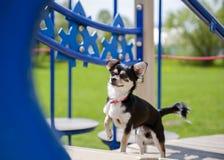 Chihuahua auf dem Spielplatz Stockbild