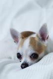 Chihuahua auf dem weißen Bett lizenzfreies stockfoto
