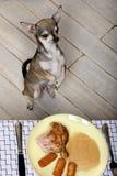 Chihuahua auf den Hinterfahrwerkbeinen, zum der Nahrung auf Tabelle zu betrachten Lizenzfreie Stockfotos