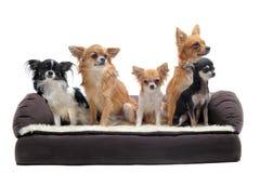 Chihuahua auf Sofa lizenzfreie stockfotografie