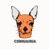 Chihuahua auf weißem Hintergrund Stockbilder