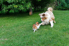 Chihuahua and Australian Shepherd frolic on the garden. Chihuahua and Australian Shepherd jumping and playing on the green garden grass Stock Photography