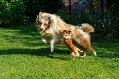 Chihuahua and Australian Shepherd frolic on the garden. Chihuahua and Australian Shepherd jumping and playing on the green garden grass Royalty Free Stock Photos