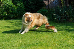 Chihuahua and Australian Shepherd frolic on the garden. Chihuahua and Australian Shepherd jumping and playing on the green garden grass Royalty Free Stock Image