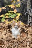 Chihuahua in the autumn leaves stock images